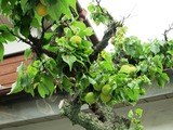 隣の梅の木-3