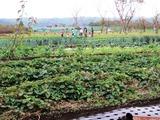 (5)野菜の収穫