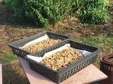 (2)収穫