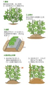 (3) そら豆の管理