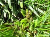 庭のホップ(2)