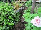 庭のホップ-1