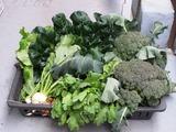 収獲冬野菜