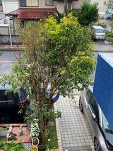 (6) 金木犀の芽生え