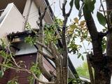 (6-2) 金木犀の芽生え