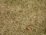 芝生の異変-2