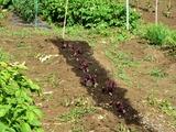 (7)紅紫蘇