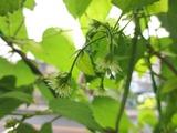 ホップの開花