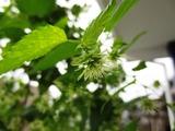 ホップの花-2