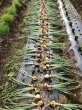 玉ねぎ収穫-2