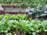 カブ、サンチュ、ブロッコリー、玉葱、ほうれん草