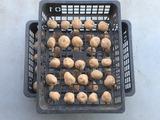 (10)種芋