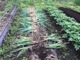 (3)玉葱とニンニクの収穫