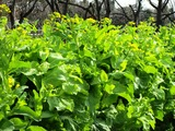 山東白菜の花
