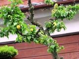 隣の梅の木-2