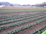 チュ―リップ畑-2