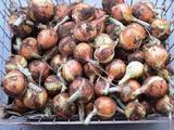 (8)玉葱