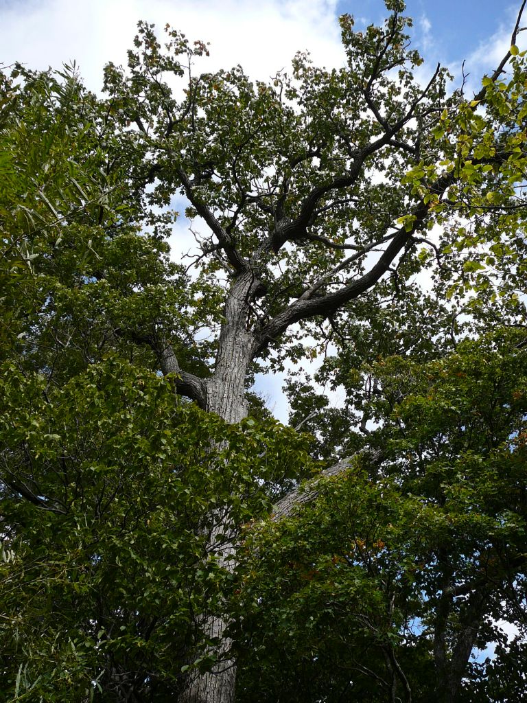 層雲峡の木その2