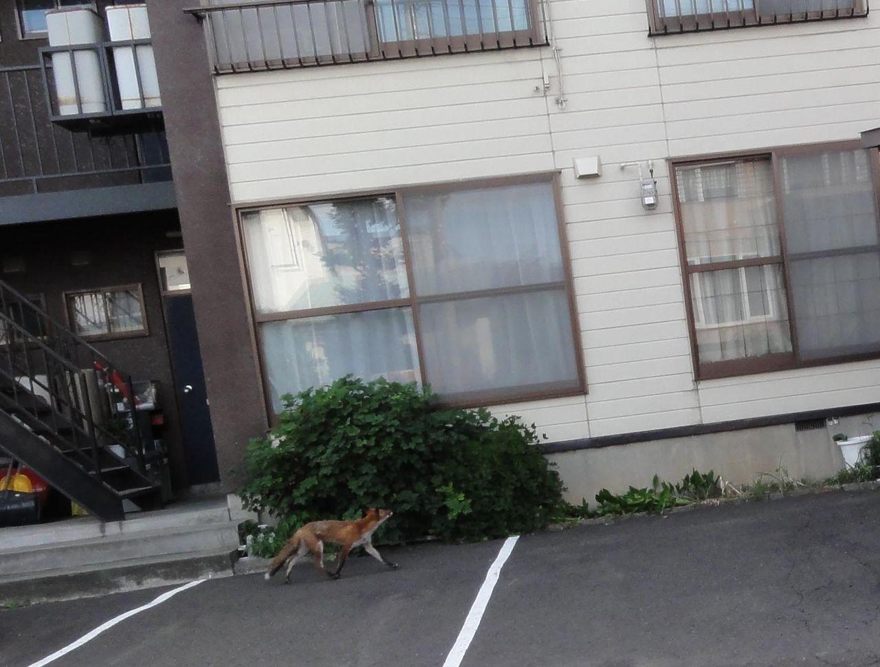 札幌市西区の住宅街にキツネが