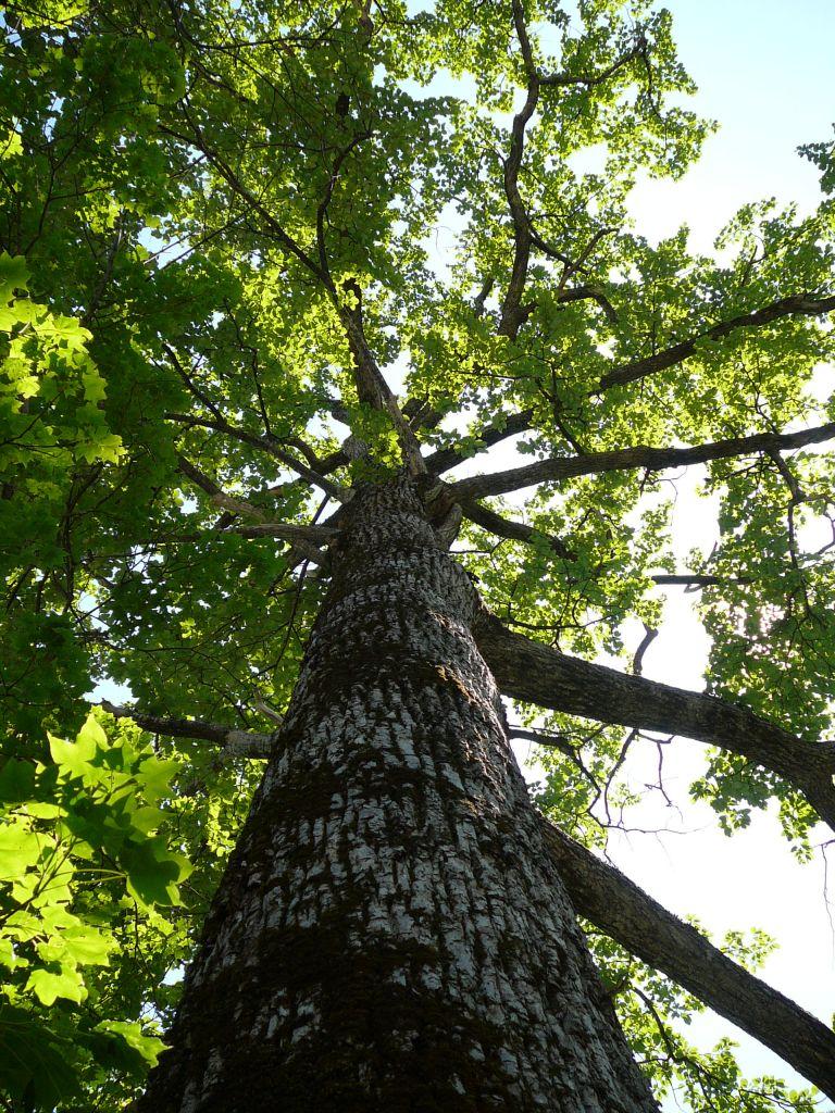 層雲峡の木