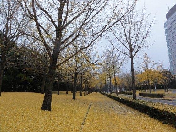 イチョウの葉の絨毯
