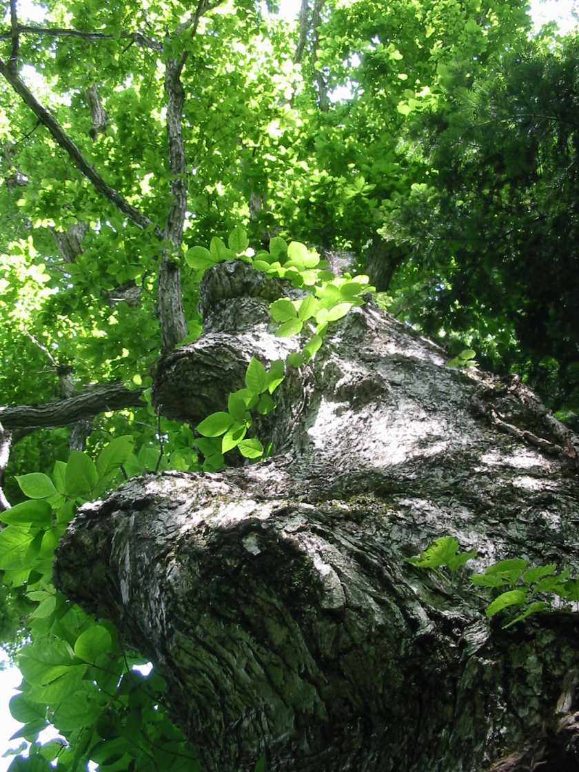 美唄のドングリの木