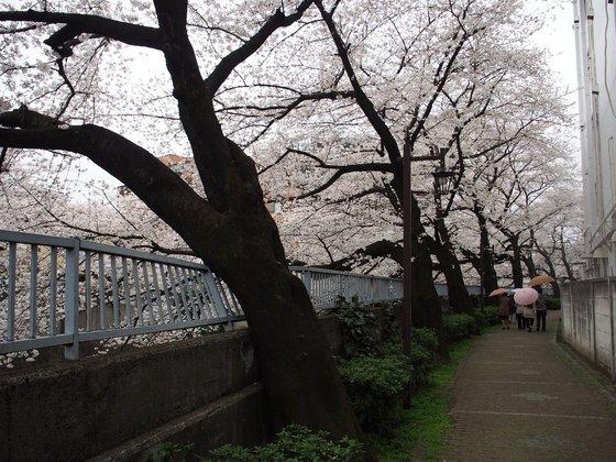 早稲田神田川の桜