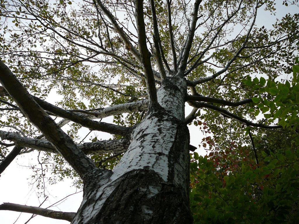 銀河の滝の前のドロノキの大木