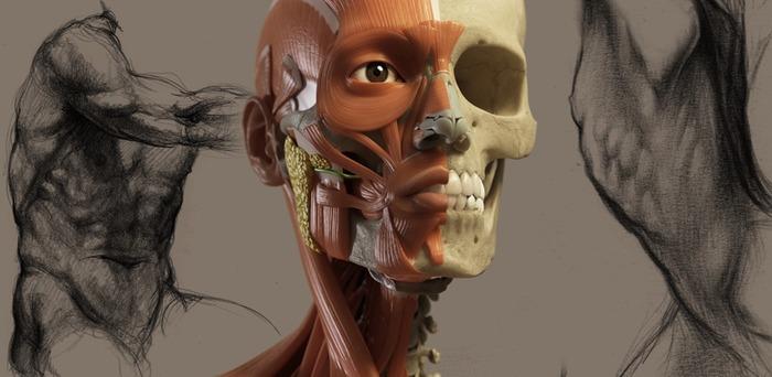 アーティストのための3D解剖学的構造-Hero