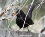 blackbird150-1ミミズ