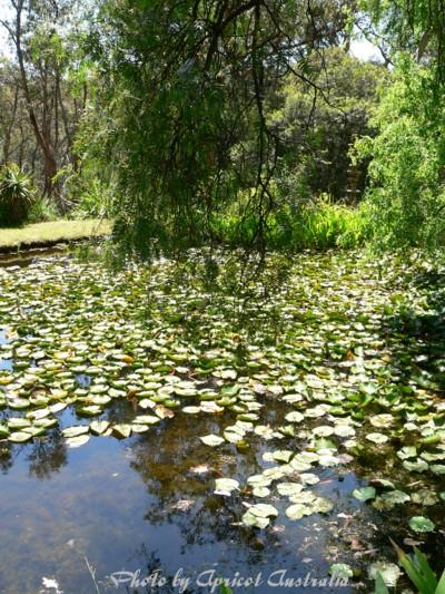 オージーフレンドのガーデンの池2