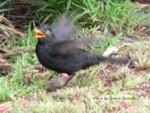 Blackbirdあわてる150-1