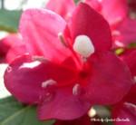 お砂糖のような花粉の花150-1