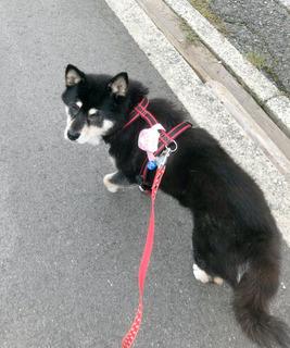 お散歩中のクーベルちゃん