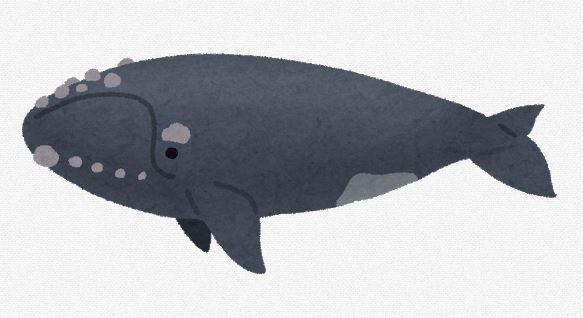 【生物】北大西洋の絶滅危惧セミクジラ、痩せすぎが判明、科学者ら危惧 「20年後にはいなくなってしまう」