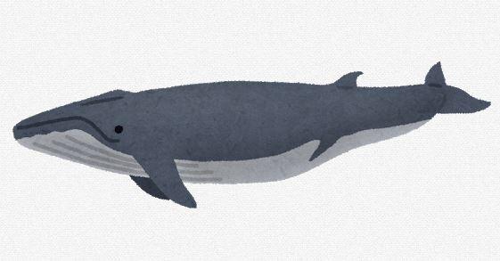【くじら】全長18.5メートルの巨大クジラ漂着、死因不明。福井県美浜町の海岸