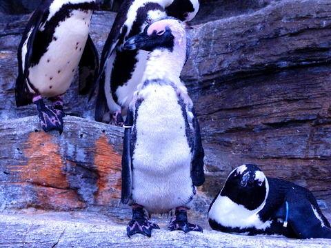 ペンギン禿る