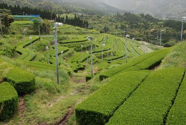⑩盤山茶園01