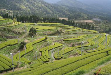 ⑫盤山茶園03