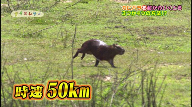 【画像】カピバラは時速50キロで走れるという事実wwwwwwww