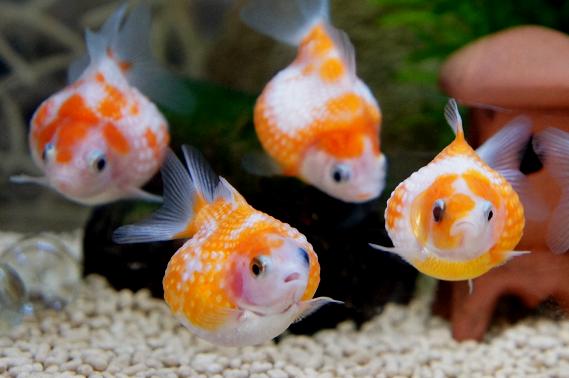 ピンポンパールとかいう体ブツブツで丸い金魚wwwww