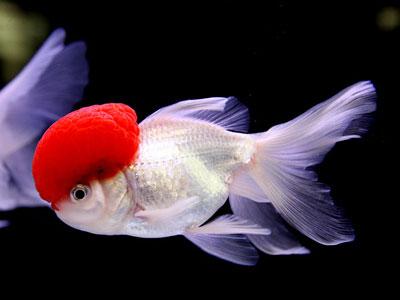 【金魚】金魚・・・元気で生きれば10年位はこのまんまですよね?
