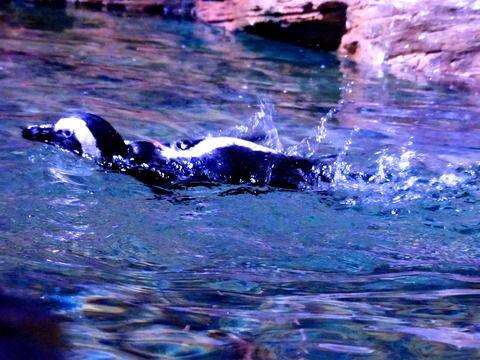 ペンギンちゃぷちゃぷ泳ぐ