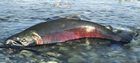 アメリカ人「天然サケを生や半生で食うのうますぎワロタwwwwww」 日本人「寄生虫・・・」