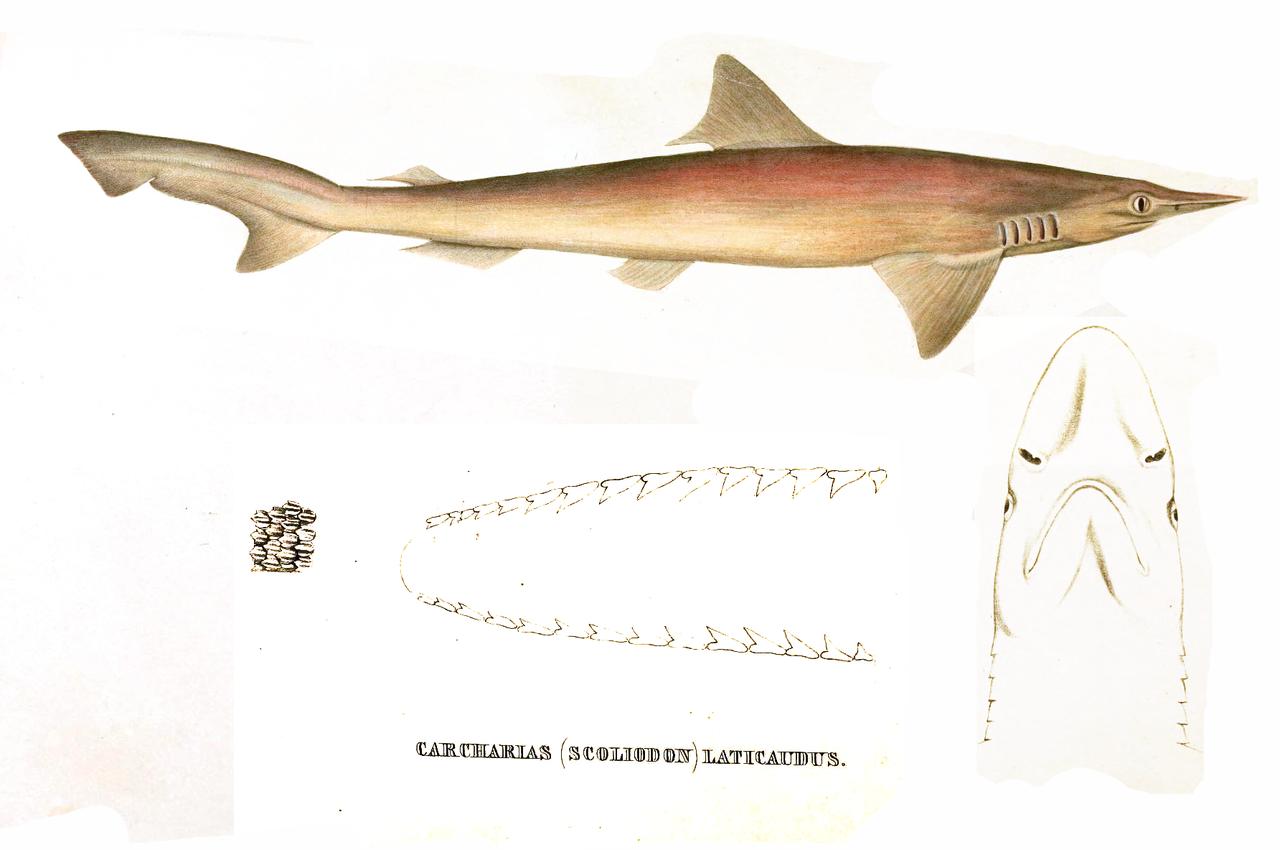 【珍事】雄雌両方の生殖器を持つ『サメ』、台湾近海で漁師が偶然捕獲する 世界で初めて