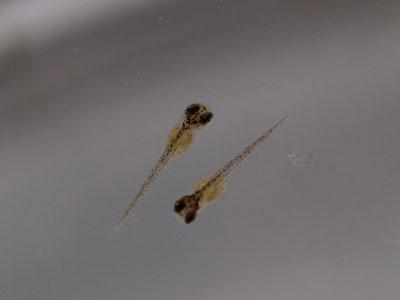 【メダカ】メダカ・・・孵化した稚魚達がずいぶん大きくなったwww