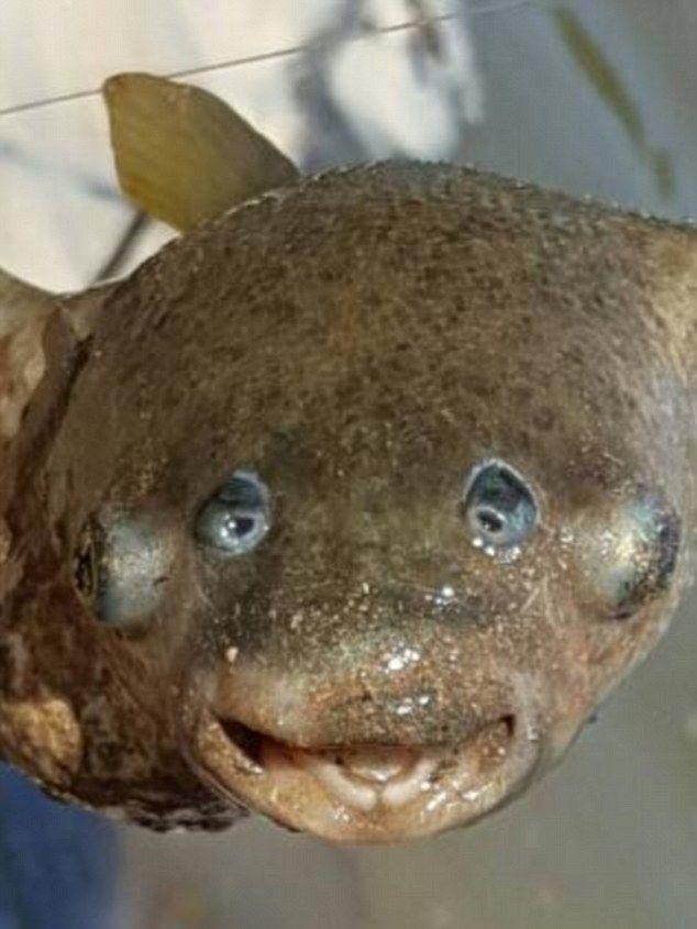 【画像あり】目玉が4つ!?オーストラリアで奇妙な魚が捕獲され話題に 専門家も困惑