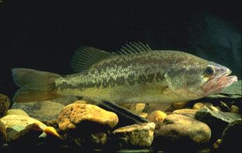 【環境】琵琶湖の外来魚「釣って駆除を」…量に応じ段位 昨年は3.7t駆除