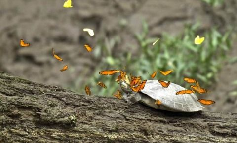 【画像】チョウに涙を飲まれるカメ
