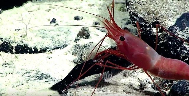 深海エビが生きた状態の深海魚を捕食!!? NOAAの研究者らによって衝撃の映像が撮影される